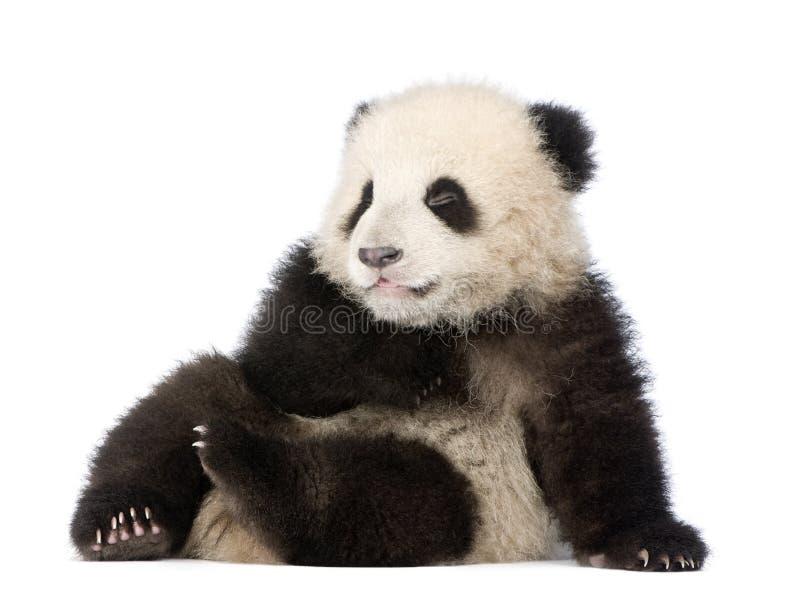 Riesiger Panda (6 Monate) - Ailuropoda melanoleuca lizenzfreie stockfotografie