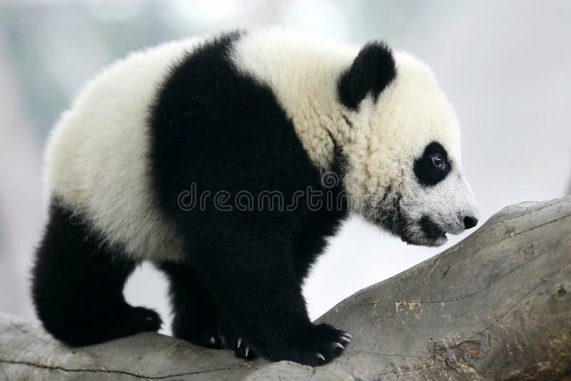Riesiger Panda Cub lizenzfreie stockfotos