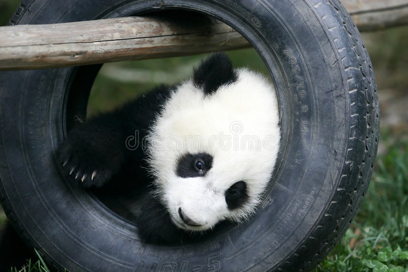 Riesiger Panda Cub stockfotos