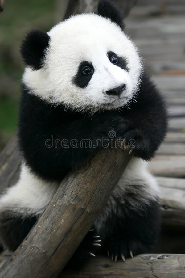 Riesiger Panda Cub lizenzfreie stockfotografie