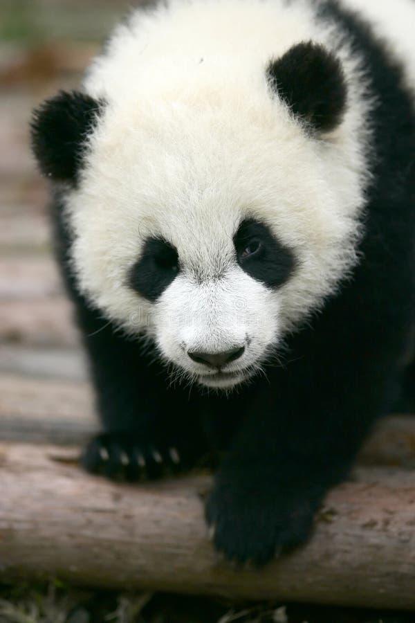 Riesiger Panda Cub lizenzfreies stockfoto