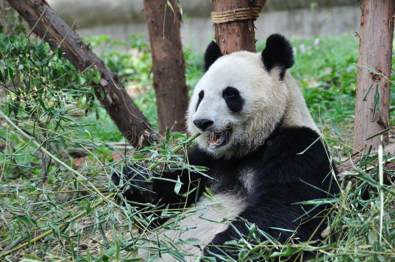 Riesiger Panda, der Bambus isst lizenzfreies stockbild
