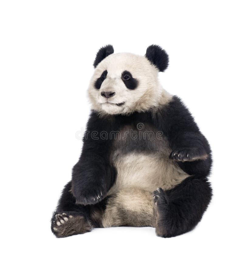 Riesiger Panda, der gegen weißen Hintergrund sitzt lizenzfreies stockbild