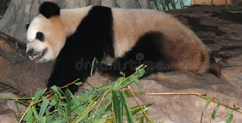 Riesiger Panda Schlafens stockbilder