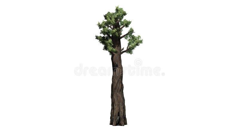 Riesiger Rotholzbaum stock abbildung
