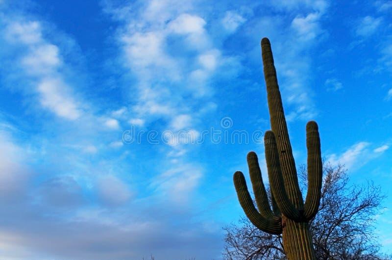 Riesiger Saguaro-Kaktus stockbilder