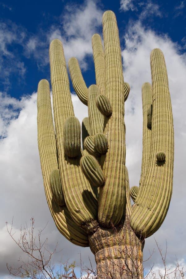 Riesiger Saguaro-Kaktus am Saguaro-Nationalpark lizenzfreie stockbilder