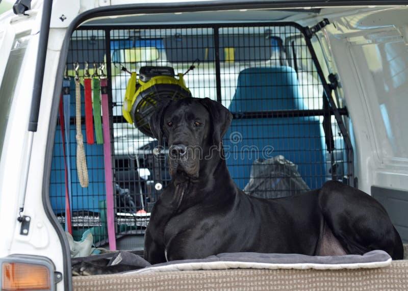 Riesiger schwarzer Hund der Deutschen Dogge, der in AutowarteEigentümer sitzt stockfotos