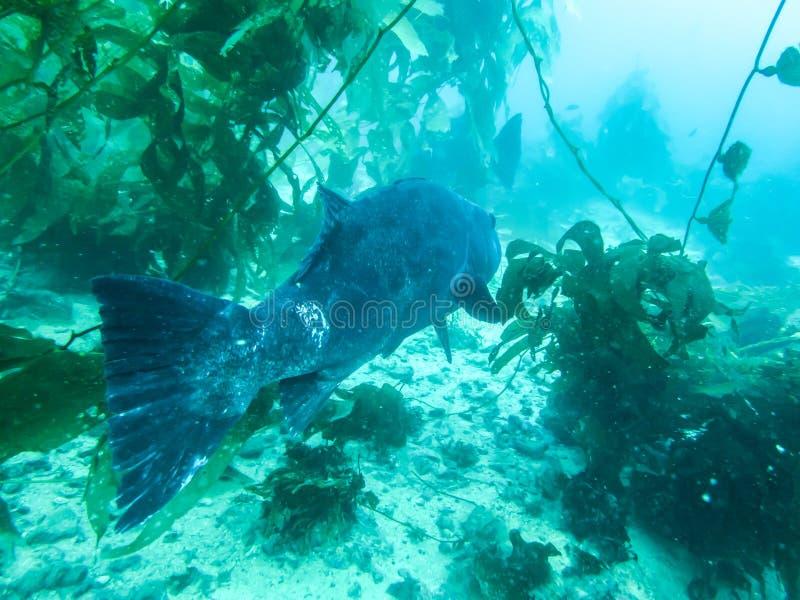 Riesiger See-Bass Swimming Through Kelp Forest-Abschluss oben lizenzfreies stockfoto