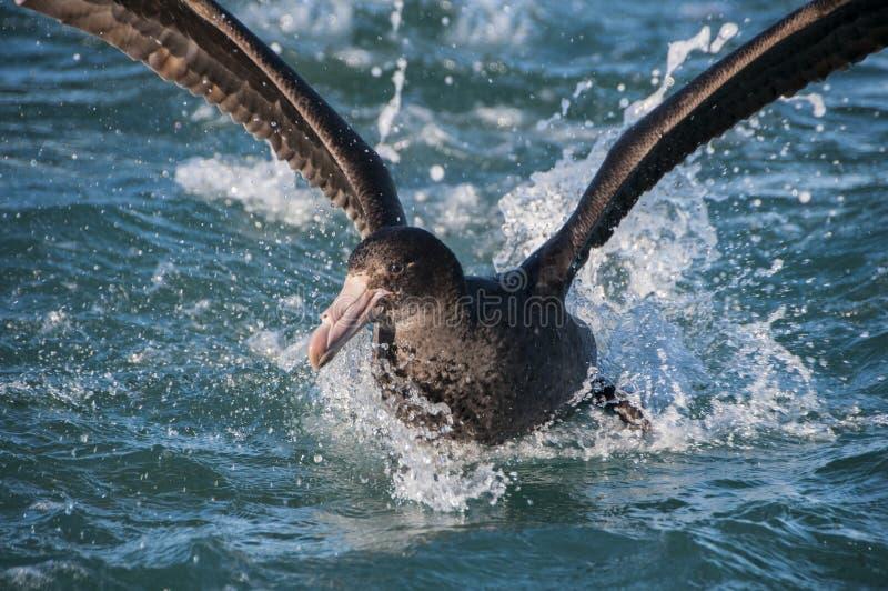 Riesiger Sturmvogel lizenzfreie stockfotografie