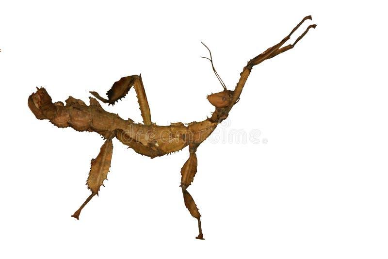 Riesiges australisches stacheliges Steuerknüppel-Insekt. lizenzfreies stockfoto