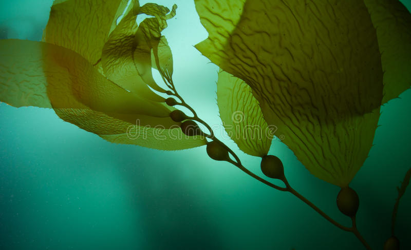 Riesiges Kelp 2 stockfoto