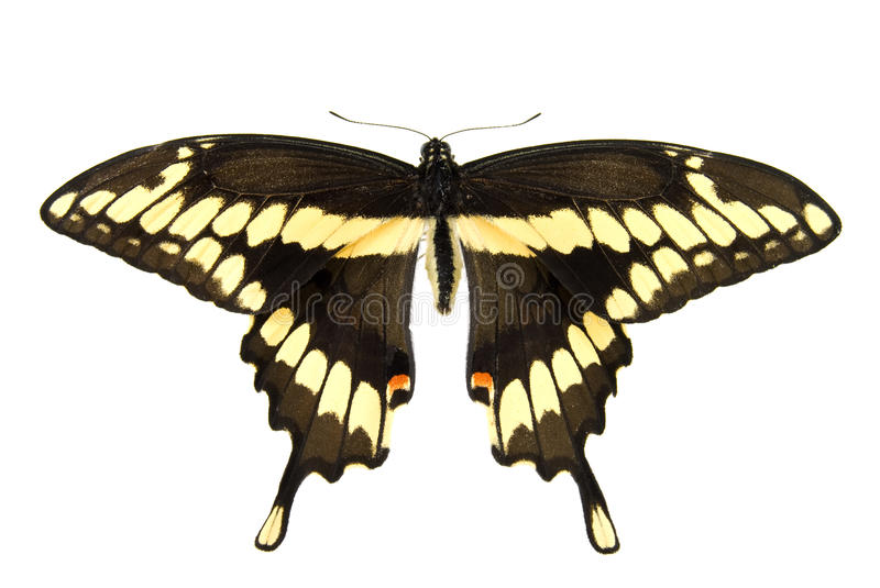 Riesiges Swallowtail Stockfoto