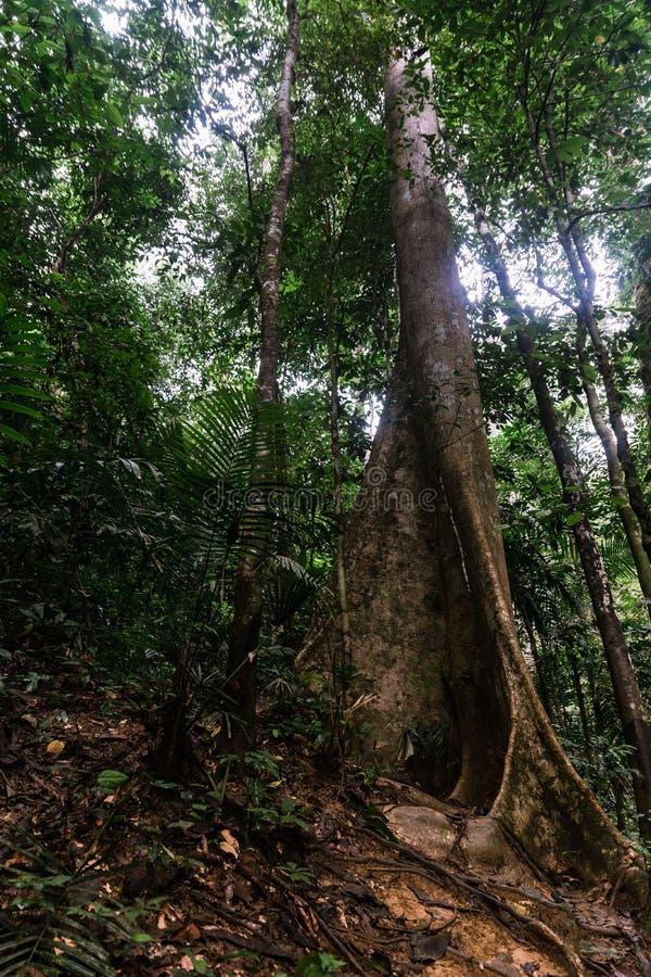 Riesiges Tetrameles-nudiflora in Hala-Bala Wildlife Sanctuary nahe Knall Lang Reservoir in Yala lizenzfreie stockfotos