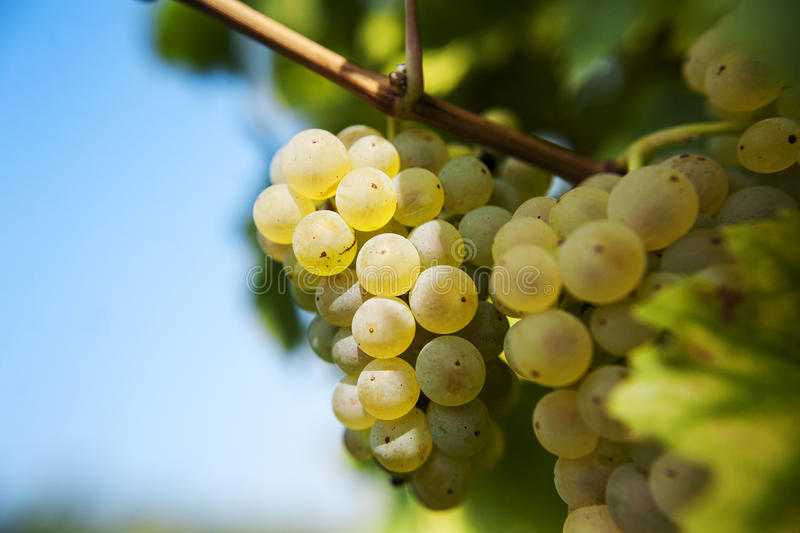 Riesling grapes stock images