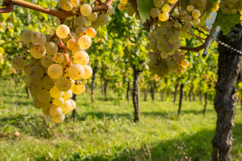 Riesling grapes at a grapevine royalty free stock photo
