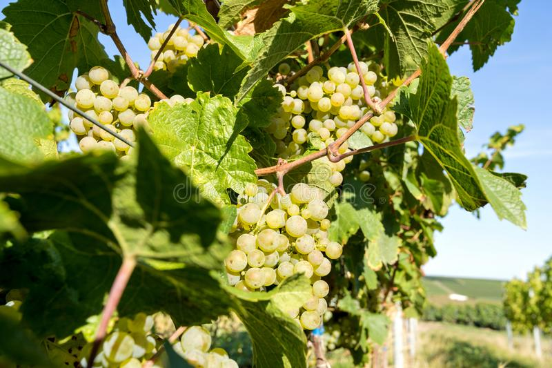 Riesling wine grapes stock photos