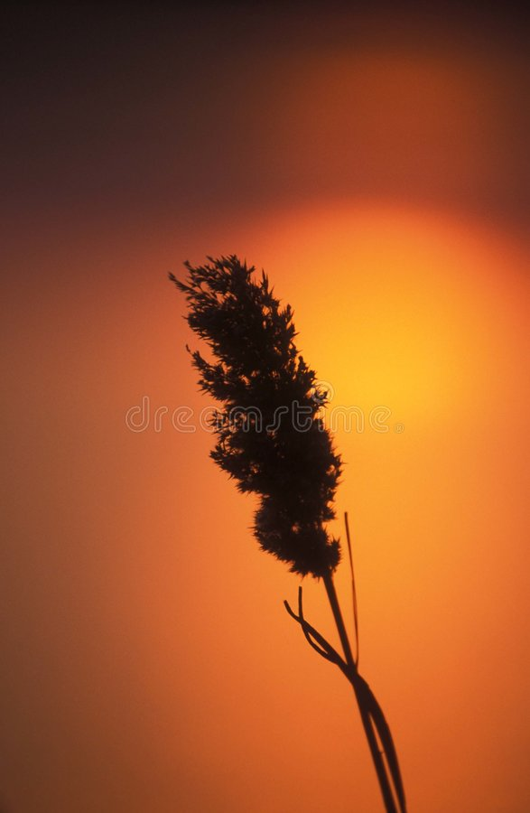 Riet & zonsondergang royalty-vrije stock afbeeldingen