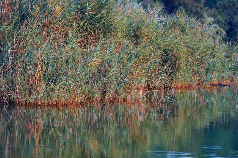 Riet in de meerrand die water overdenken royalty-vrije stock foto's