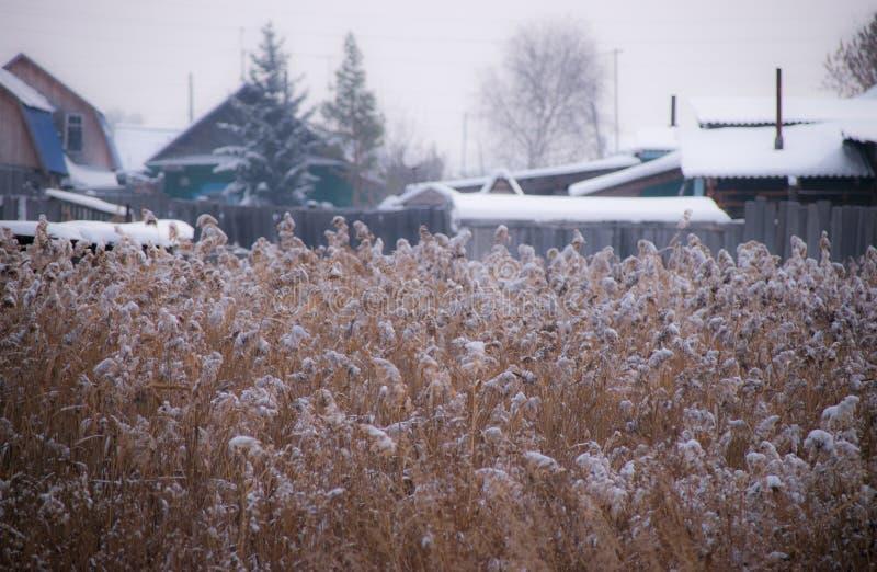 Riet in de sneeuw royalty-vrije stock fotografie