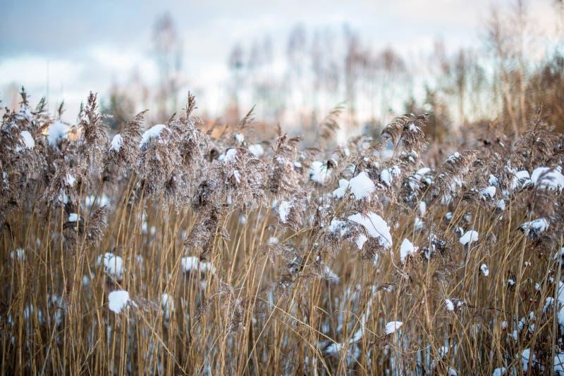 Riet in de winter stock afbeelding