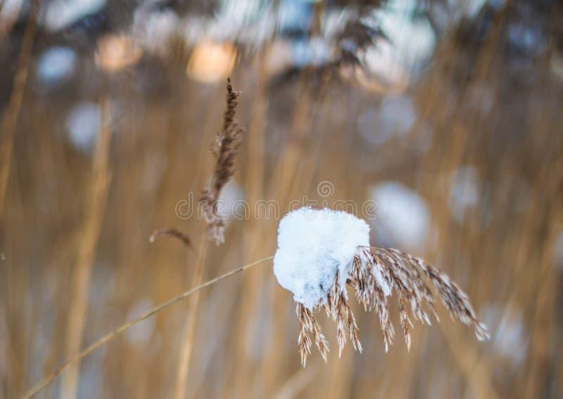 Riet in de winter royalty-vrije stock afbeeldingen