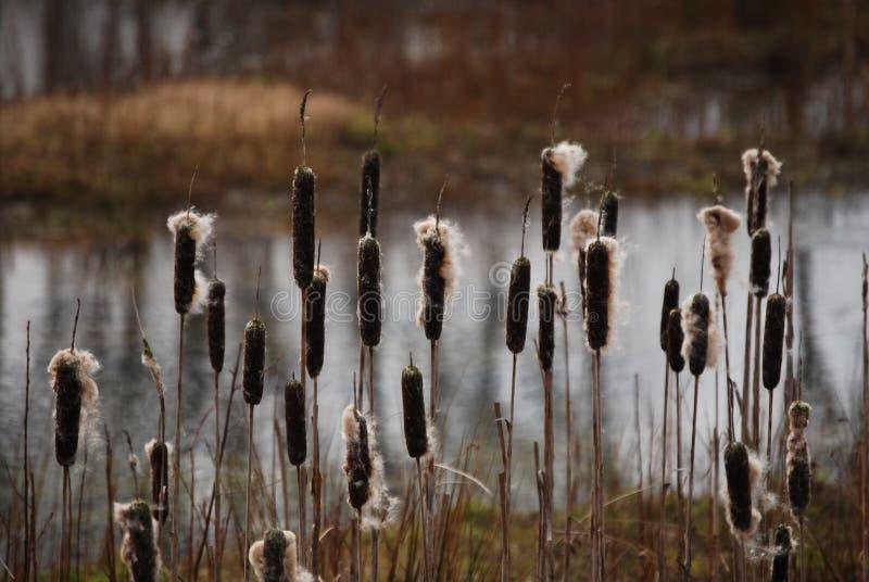 Riet-foelie in de winter stock afbeeldingen
