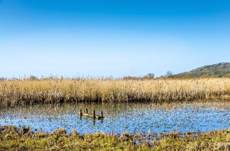 Riet in moerasland, Leighton Moss RSPB, Lancashire, Engeland royalty-vrije stock foto's