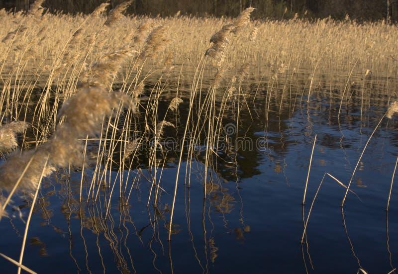 Riet op bosmeer op avondzonlicht in de lente stock foto