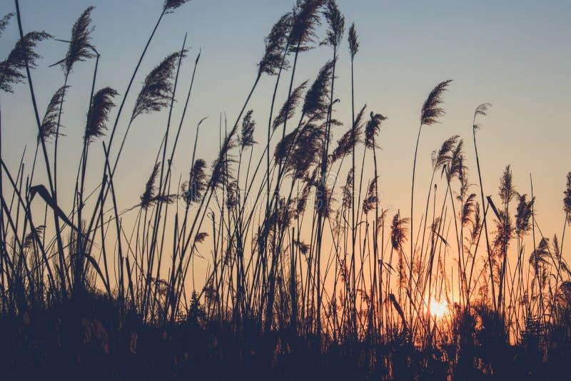 Riet op de achtergrond van de zonsondergang stock fotografie