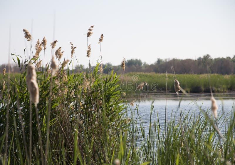 Riet op de rivierbank, op een de zomerdag stock foto's