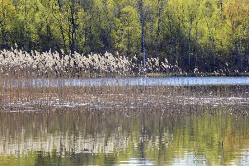 Riet in het meer stock afbeeldingen