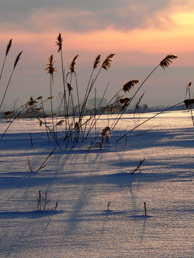 Riet op zonsondergang 2 stock foto's