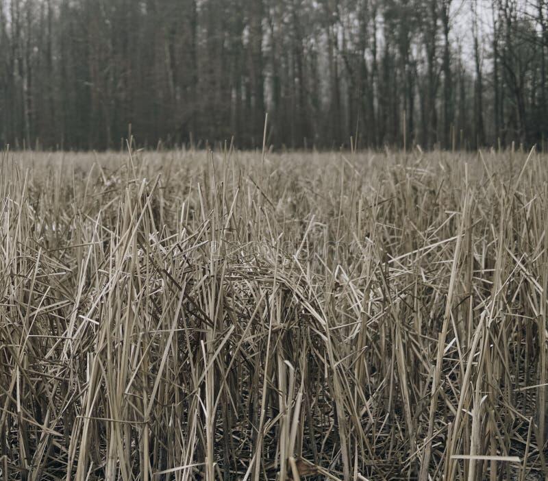Riet voor bos royalty-vrije stock fotografie