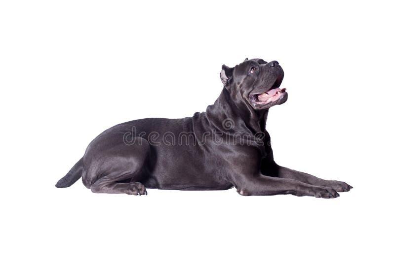 Rietcorso of Italiaanse die mastiff op een witte achtergrond wordt geïsoleerd Huisdieren stock afbeeldingen