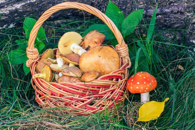 Rieten mand met eetbare paddestoelen en giftige en gevaarlijke Aman stock foto