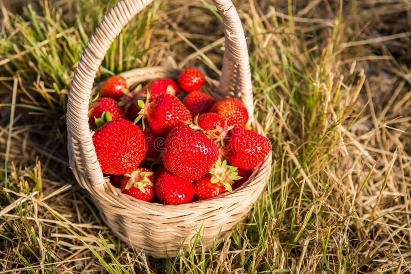 Rieten mand met rode rijpe aardbeien op een achtergrond van geel hooi of geel gras royalty-vrije stock fotografie
