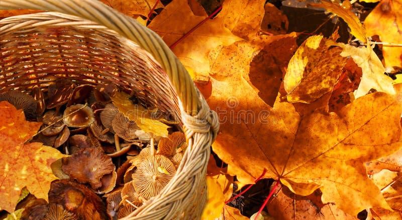 Rieten mand met verzamelde de herfstpaddestoelen die zich op kleurrijke esdoornbladeren bevinden royalty-vrije stock afbeeldingen