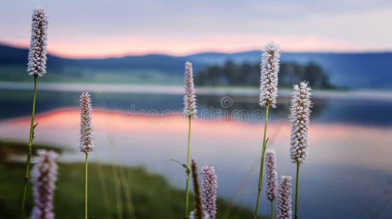 Rietinstallatie dichtbij meer, zonsopgang stock fotografie