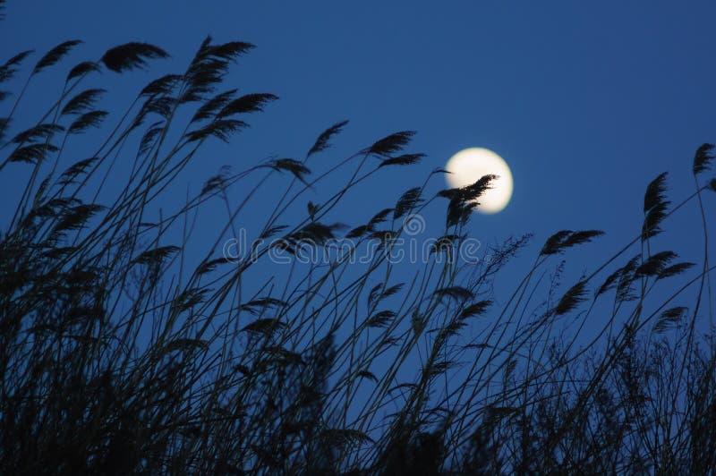 Rietsilhouet en maan royalty-vrije stock afbeeldingen
