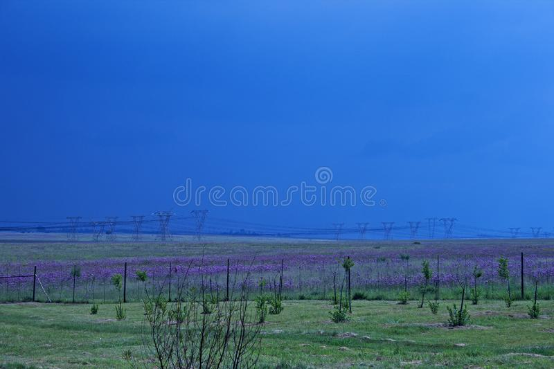RIETVLEI NATURE RESERVE, TSHWANE, GAUTENG, SOUTH AFRICA - VIEW OVER FIELD OF PINK FLOWERS AND POWER LINES AT RIETVLEI stock photo
