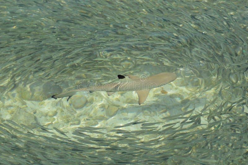 Riff-Haifisch lizenzfreie stockfotos