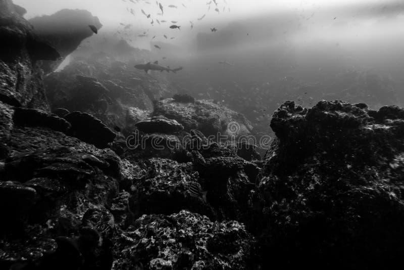 Riff mit whitetip Haifisch stockfoto