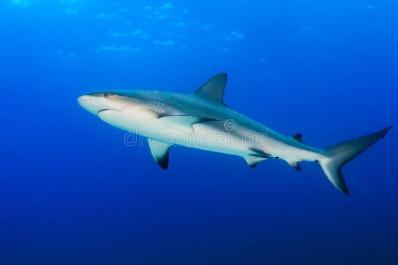 Riffhaifisch im blauen Wasser lizenzfreie stockbilder