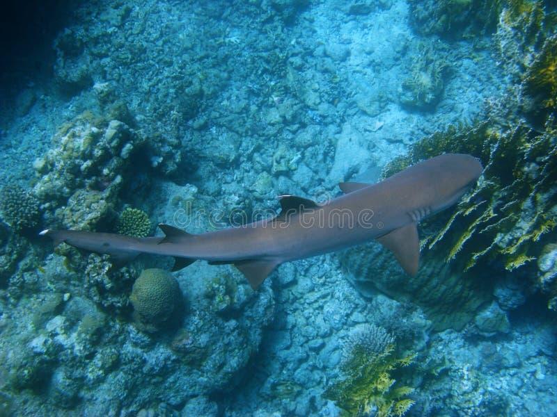 Rifhaifisch und Korallenriff stockfoto