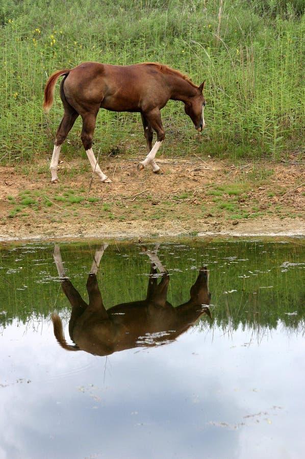 Download Riflessione del cavallo fotografia stock. Immagine di acetosa - 215242