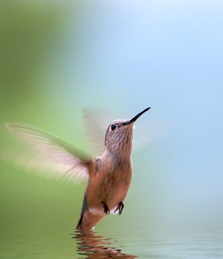 Riflessione del colibrì fotografia stock libera da diritti