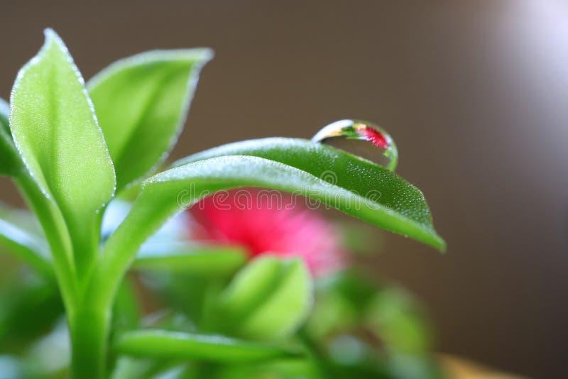 Riflessione del fiore delle piante di Rosa di Sun del bambino sulla gocciolina di acqua al bordo della sua foglia verde immagini stock libere da diritti