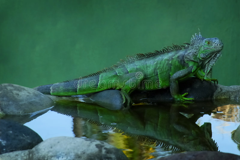 Riflessione dell'iguana fotografie stock