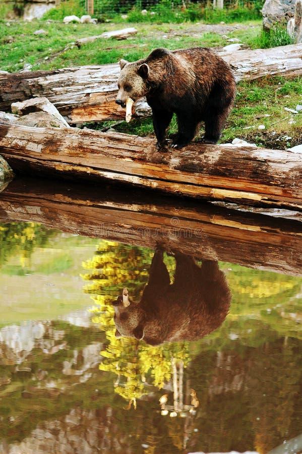 Riflessione dell'orso dell'orso grigio immagine stock
